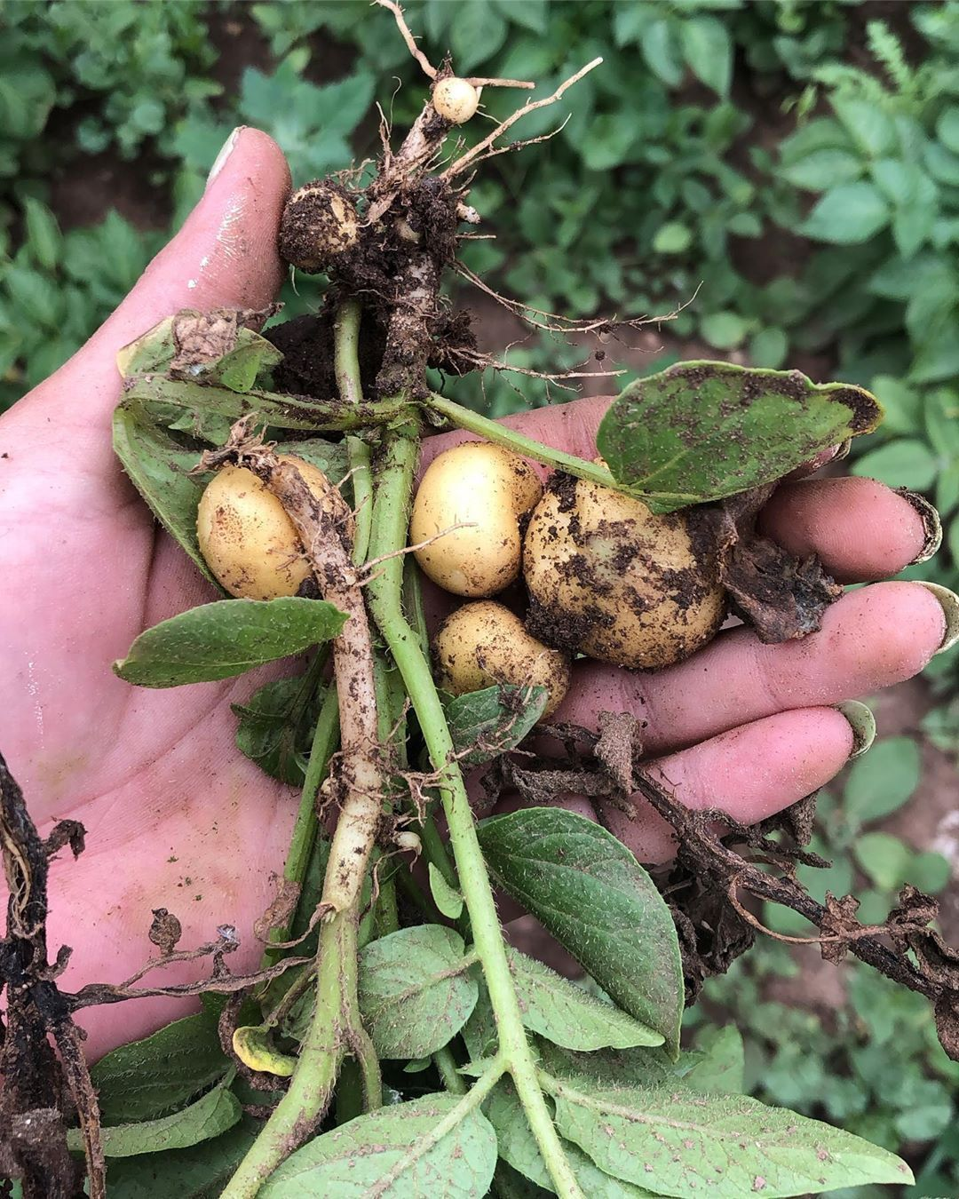 How Long Does It Take To Grow Potatoes This Is The Truth Exposed Growingpotatoes How Long Does It Take To Grow Potatoes I Growing Potatoes Potatoes Growing