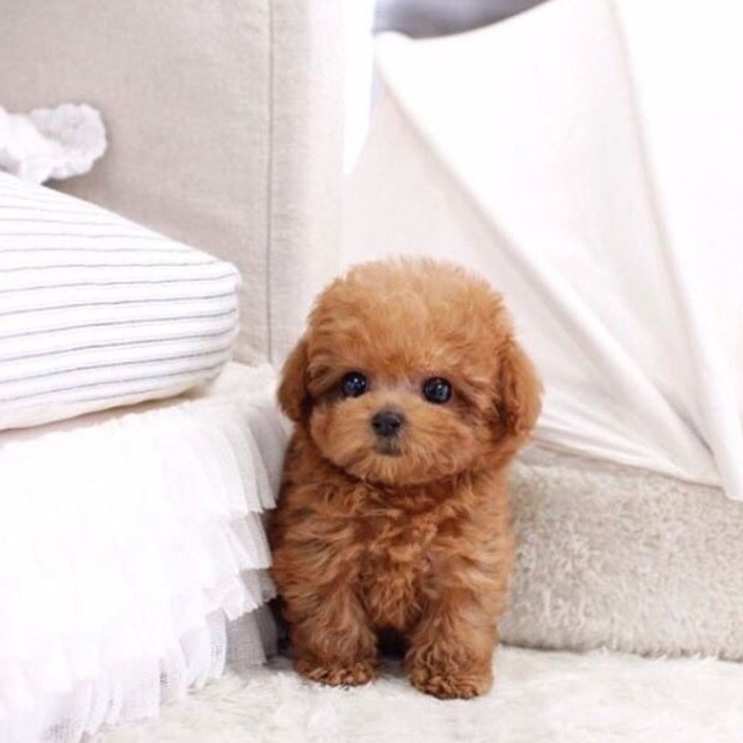 Teacup Poodle Puppies Cute