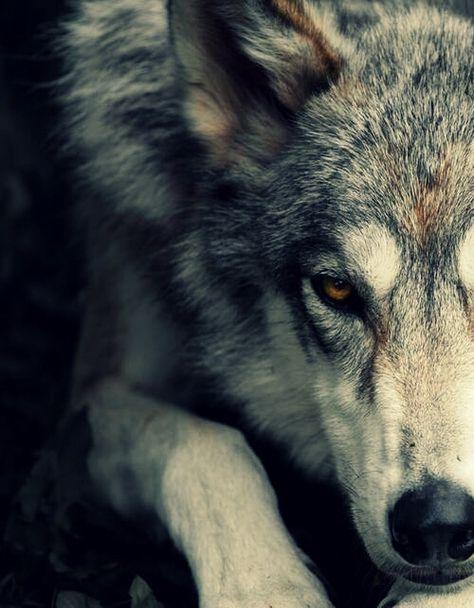 loup gris dansez avec les loups et la lune s. Black Bedroom Furniture Sets. Home Design Ideas