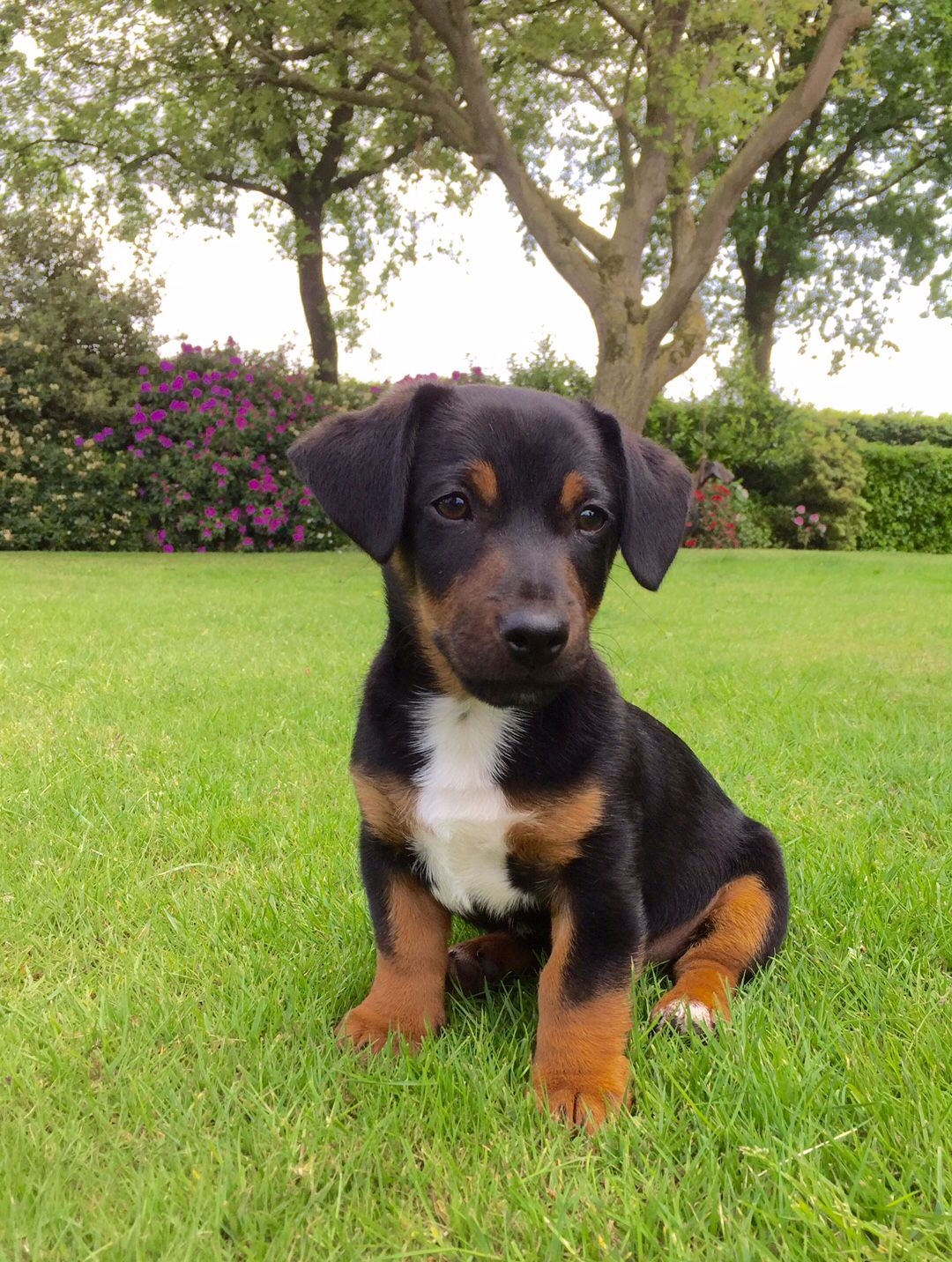 black jack russell terrier black and tan jack russell named bram animals jack 7636