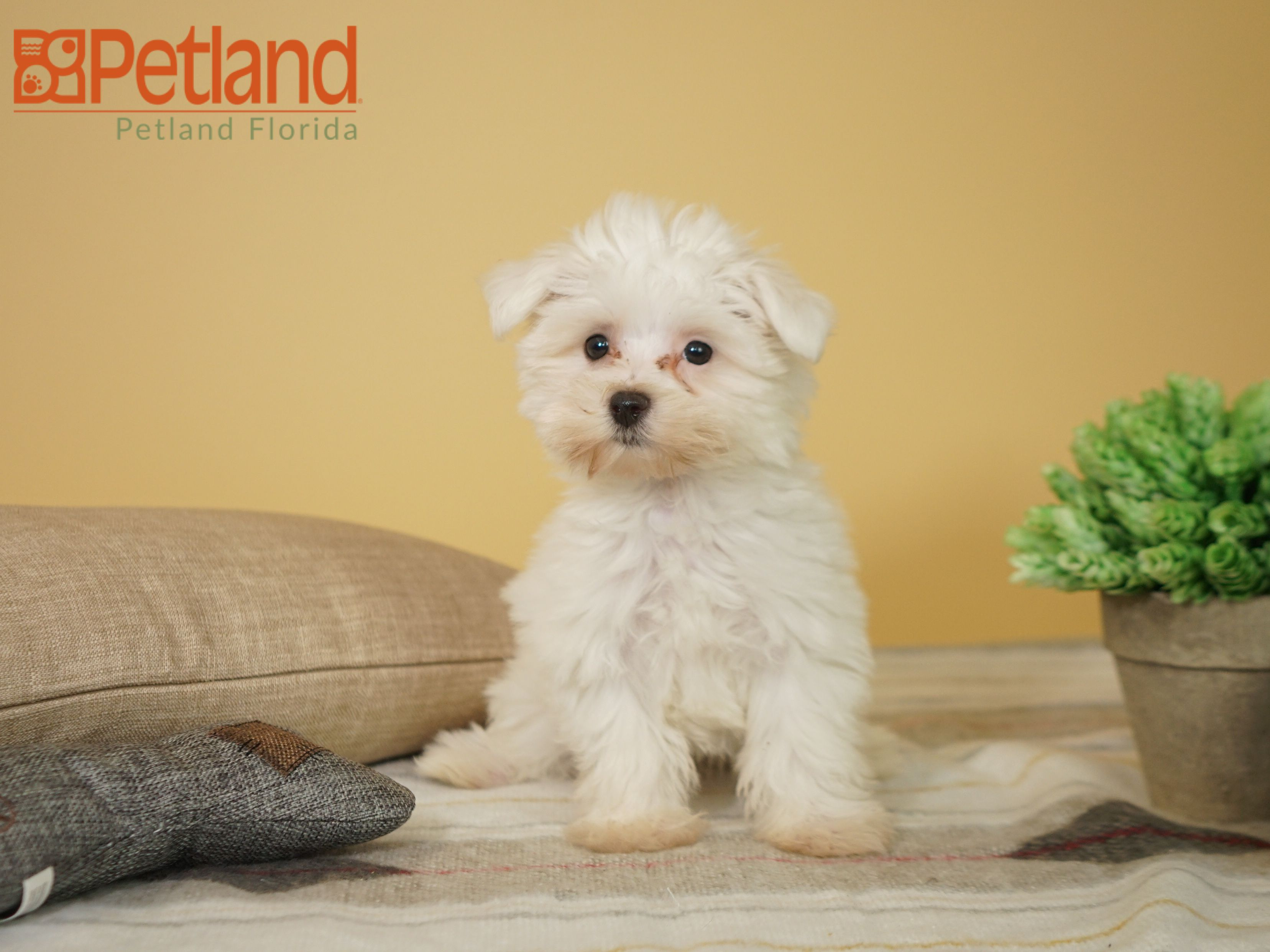 Puppies For Sale Puppy Friends Maltese Puppy Maltese Puppies