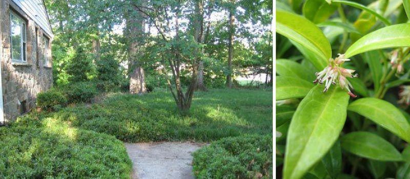 Sarcococca : arbuste couvre sol parfumé
