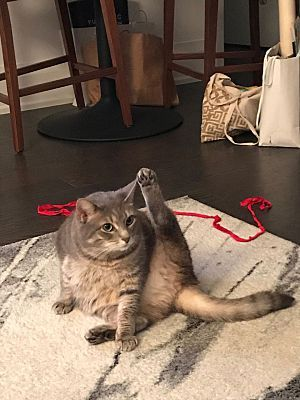 New York Ny Domestic Shorthair Meet May A Pet For Adoption Pet Adoption Pets Adoption