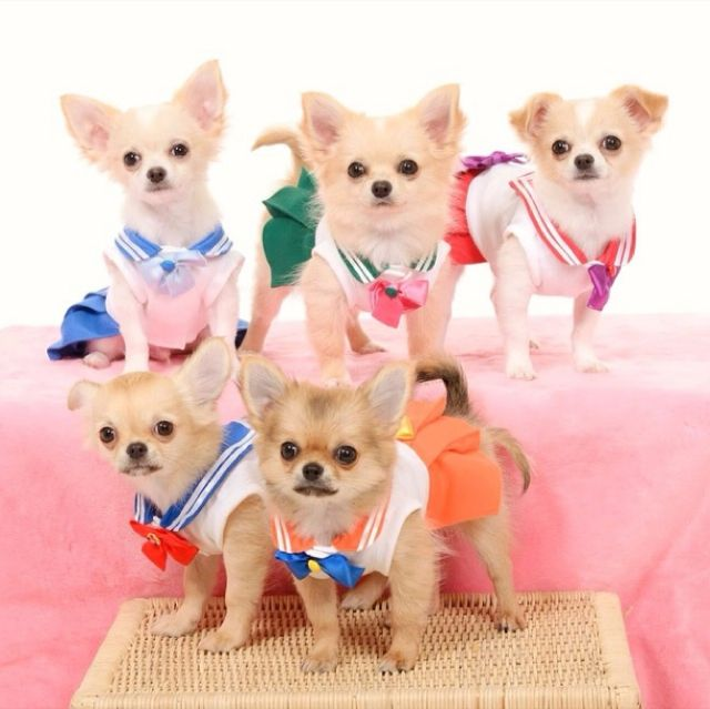 Chihuahuas Cosplay As Sailor Senshi Dog Costumes Sailor Moon