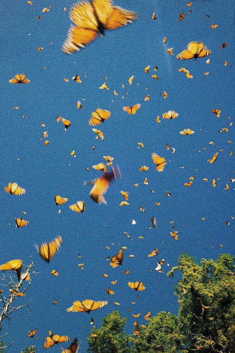 peaceful ☮︎ | Butterfly wallpaper