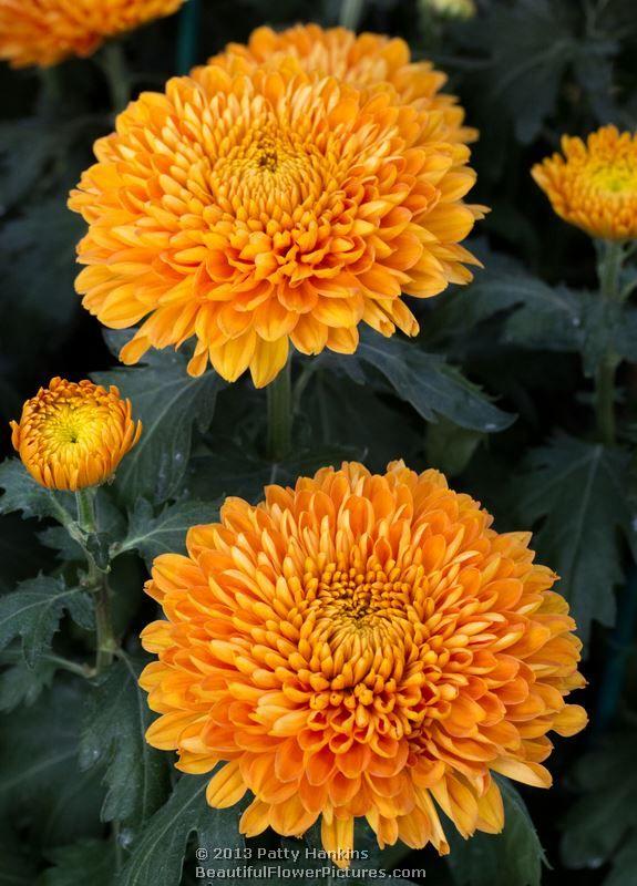Bold Vanessa And Honey Glow Decorative Chrysanthemums Chrysanthemum Flower Chrysanthemum Flowers Perennials