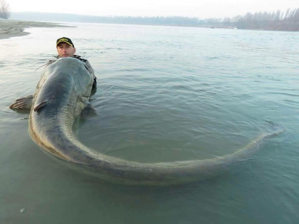 Wels catfish one of of the world 39 s largest freshwater for The biggest fish