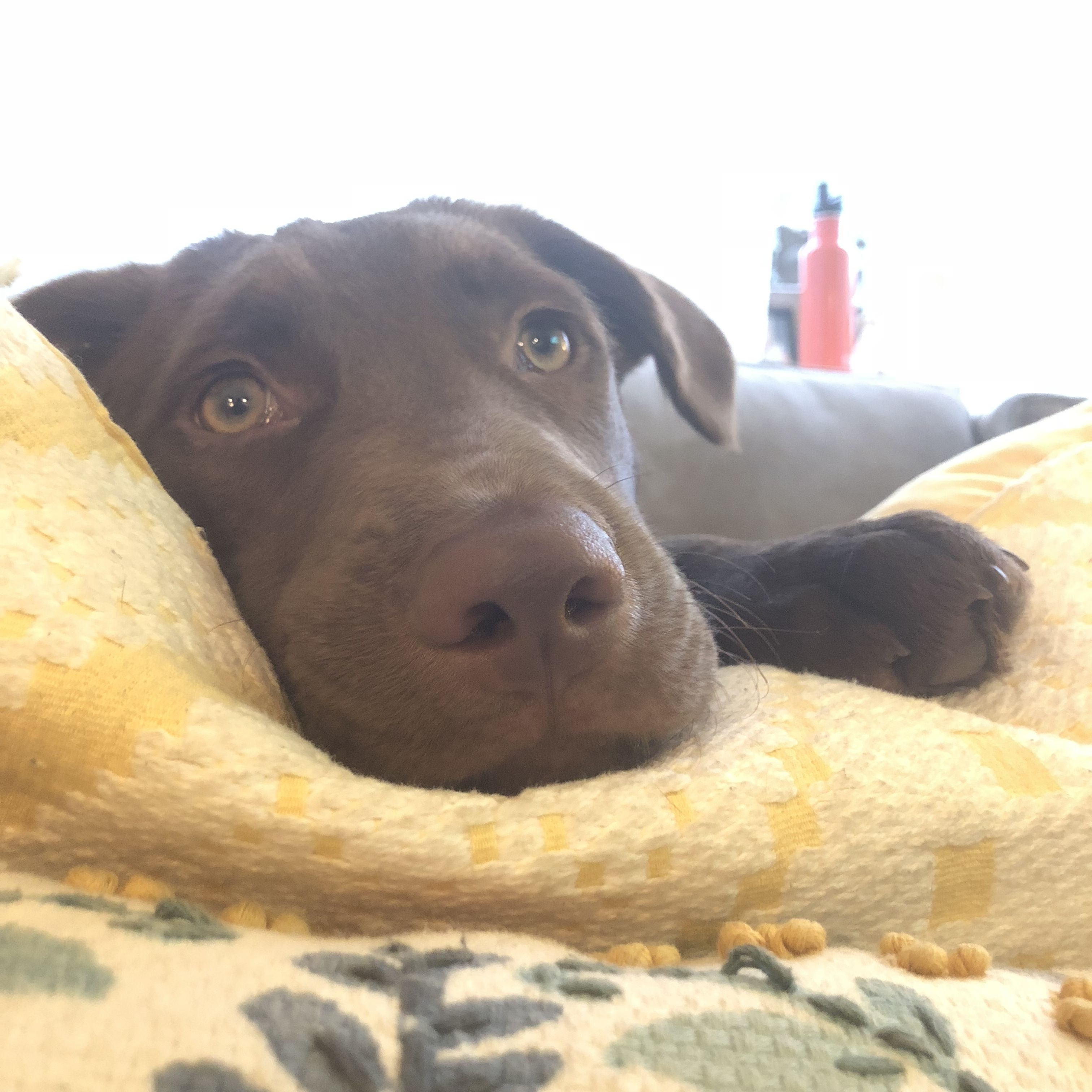 Pin By Anna Rae On Too Cute Chocolate Lab Puppies Puppy Mix