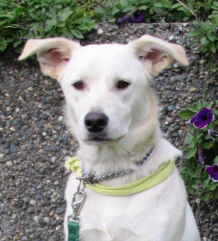 Adopted! Astro - Yellow Labrador Retriever/Samoyed mix - Ocean Shores, WA. 1 yr old.