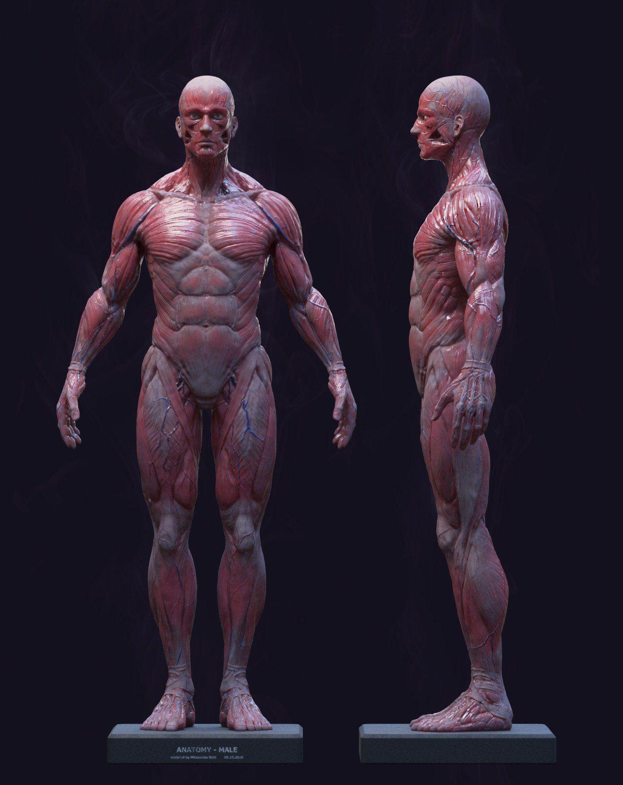 Новости   anatomía   Pinterest   Anatomía, Anatomía muscular y ...