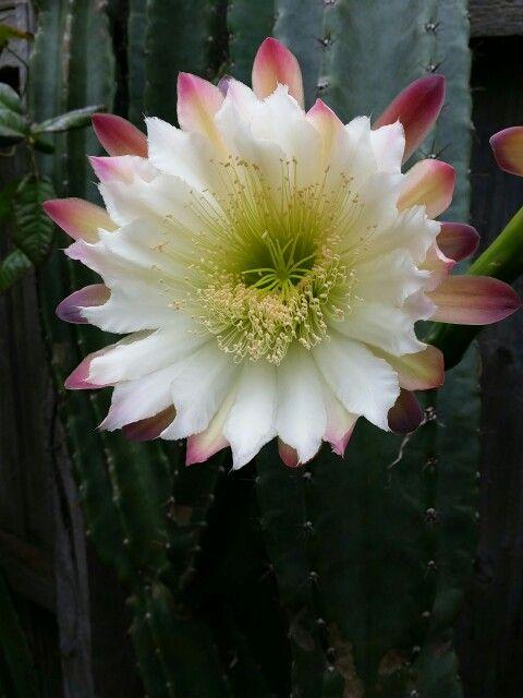 Cactus flowers 2015