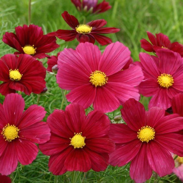 Cosmos Seeds For Sale 35 Varieties Annual Flower Seeds Cosmos Plant Cosmos Flowers Annual Flowers