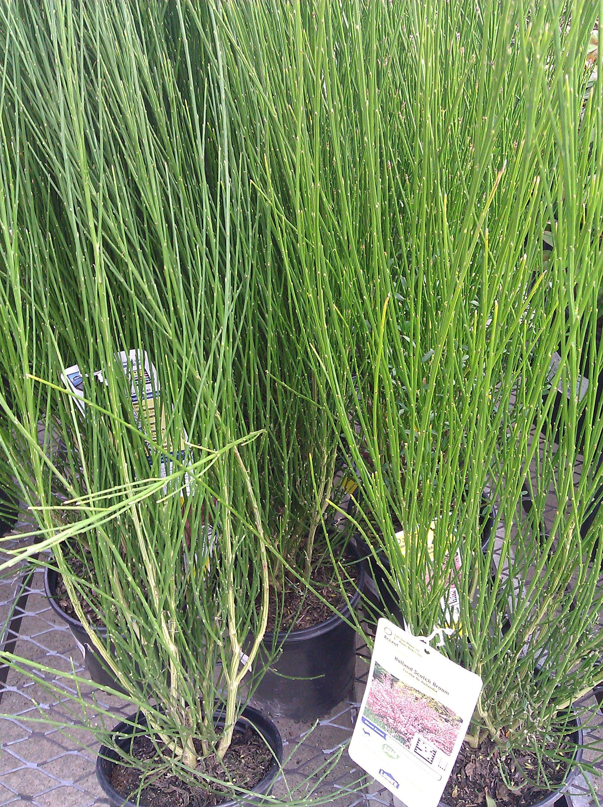 holland scotch broom plants rh pinterest se
