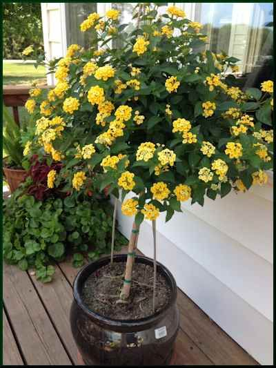 Lantana Tree Lantana Tree Potted Trees Potted Plants Patio