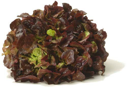 La Feuille De Chene Variete De Salade Feuille De Chene Et