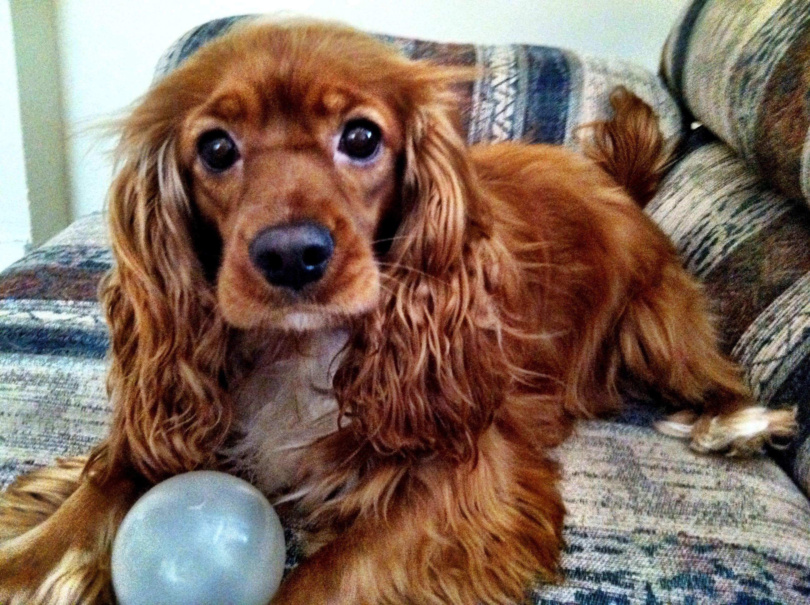 My cockalier Kinzie. She's perfect. Doggies! Pinterest