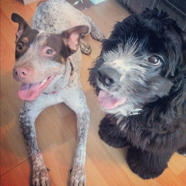 Purebred Tiny Toy Poodle For Sale Dogs Puppies Gumtree Australia Inner Sydney Sydney City 1255968032