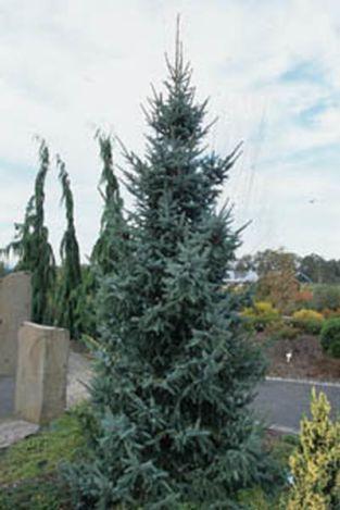 Kat Nurseries Picea Omorika Riverside