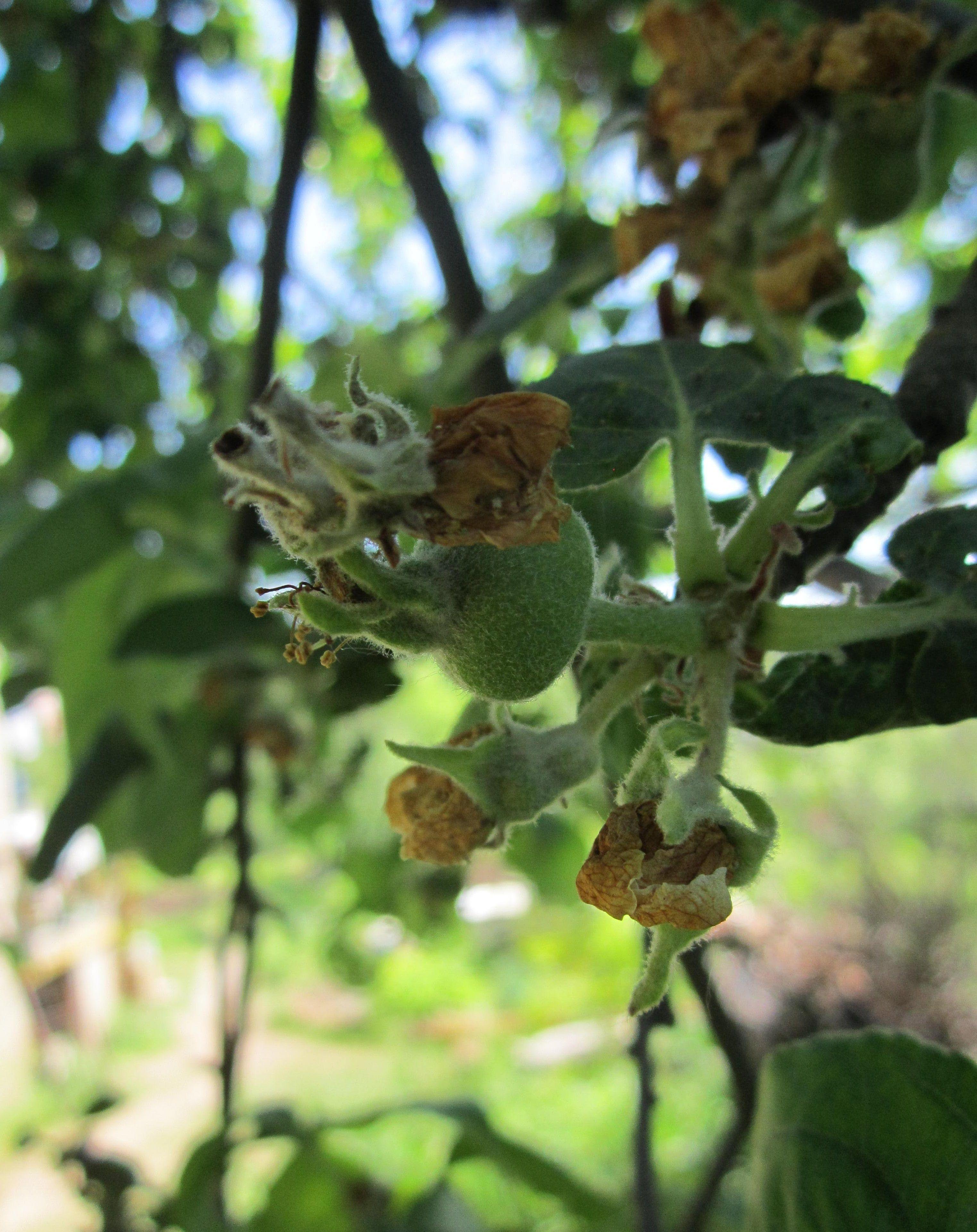 fruit tree pruning service