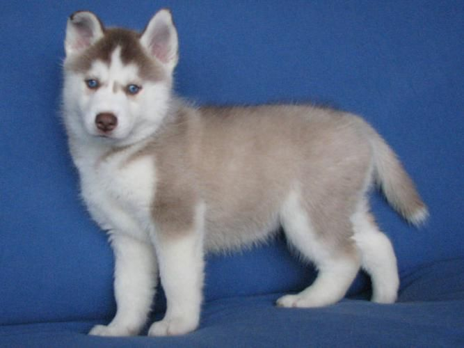 A New Sibling For Leah Bodie Puppies With Blue Eyes White
