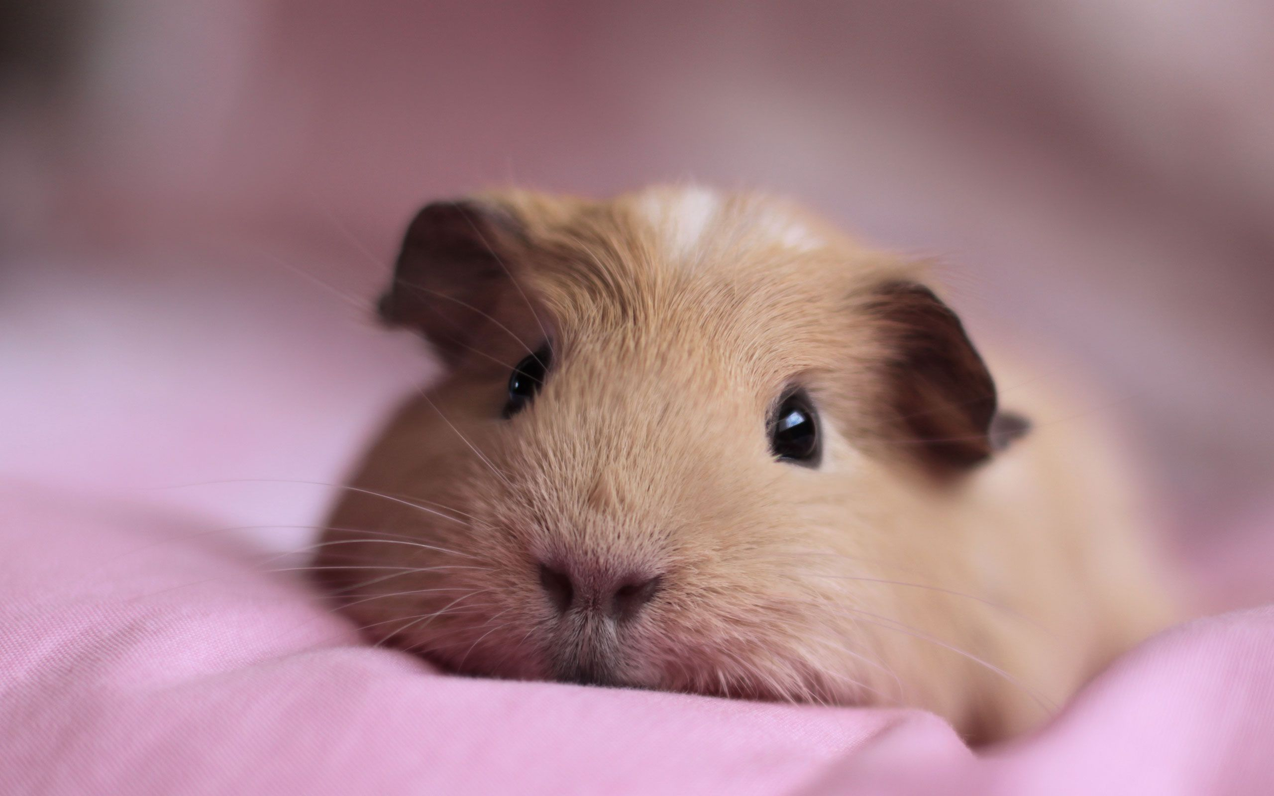Pin On American Guinea Pigs Cavy