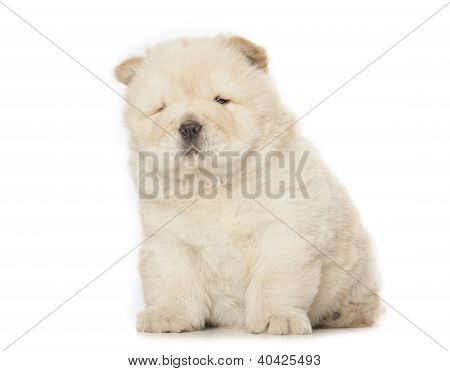 Fluffy Chow Chow Puppy Isolated Over White Background Poster