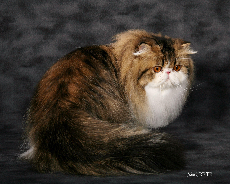 Brown & White Bicolored Persian Teacup persian cats