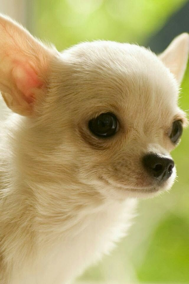 Pin By Wanda Perry On Dogs Cute Chihuahua Chihuahua Dog