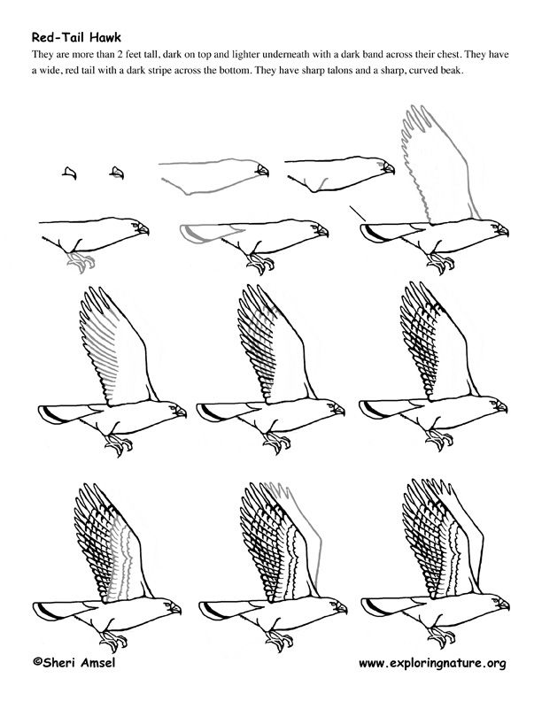 Red Tailed Hawk Drawing Tutorial From Exploringnature Org