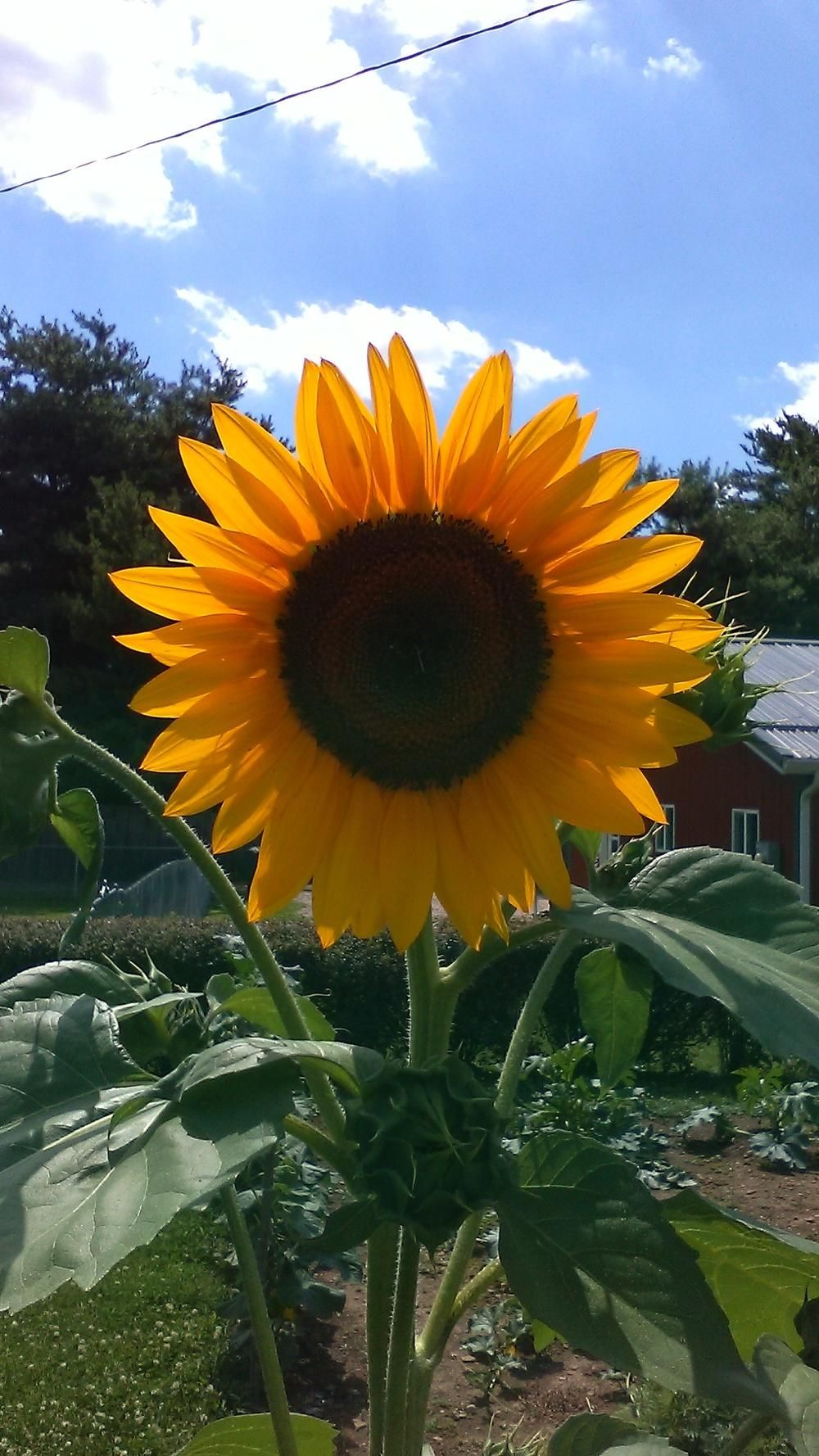 Sunflowers Plant Care And Collection Of Varieties Garden Org Plants Plant Care Sunflower
