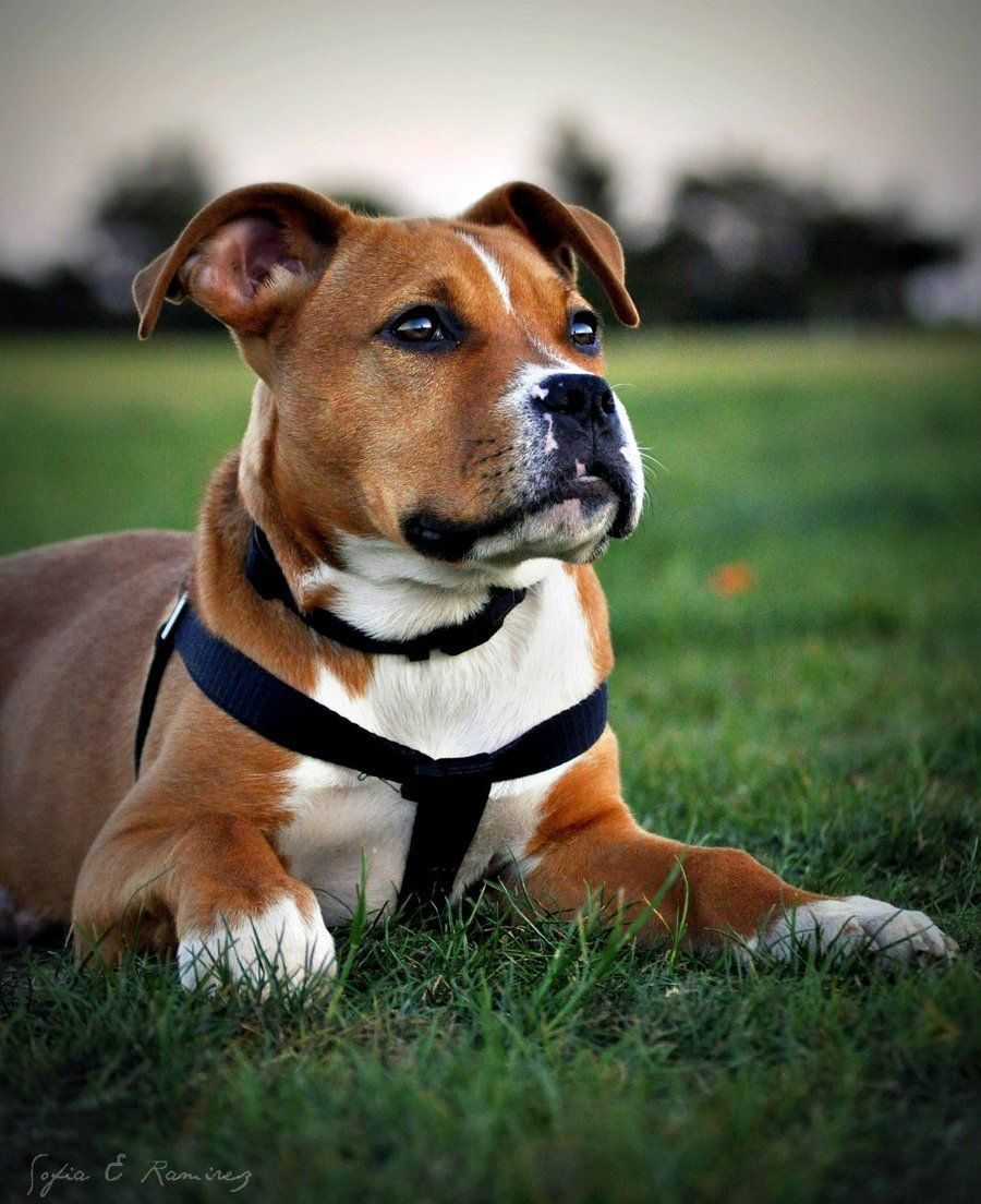 cute boxer pit bull mix dog ♥A pit bull is like a fighter