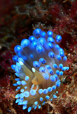 a nudibranch - Janolus cristatus, it grows to around 75mm in length. Since the body is transparent, you can clearly see its intestines running throughout.
