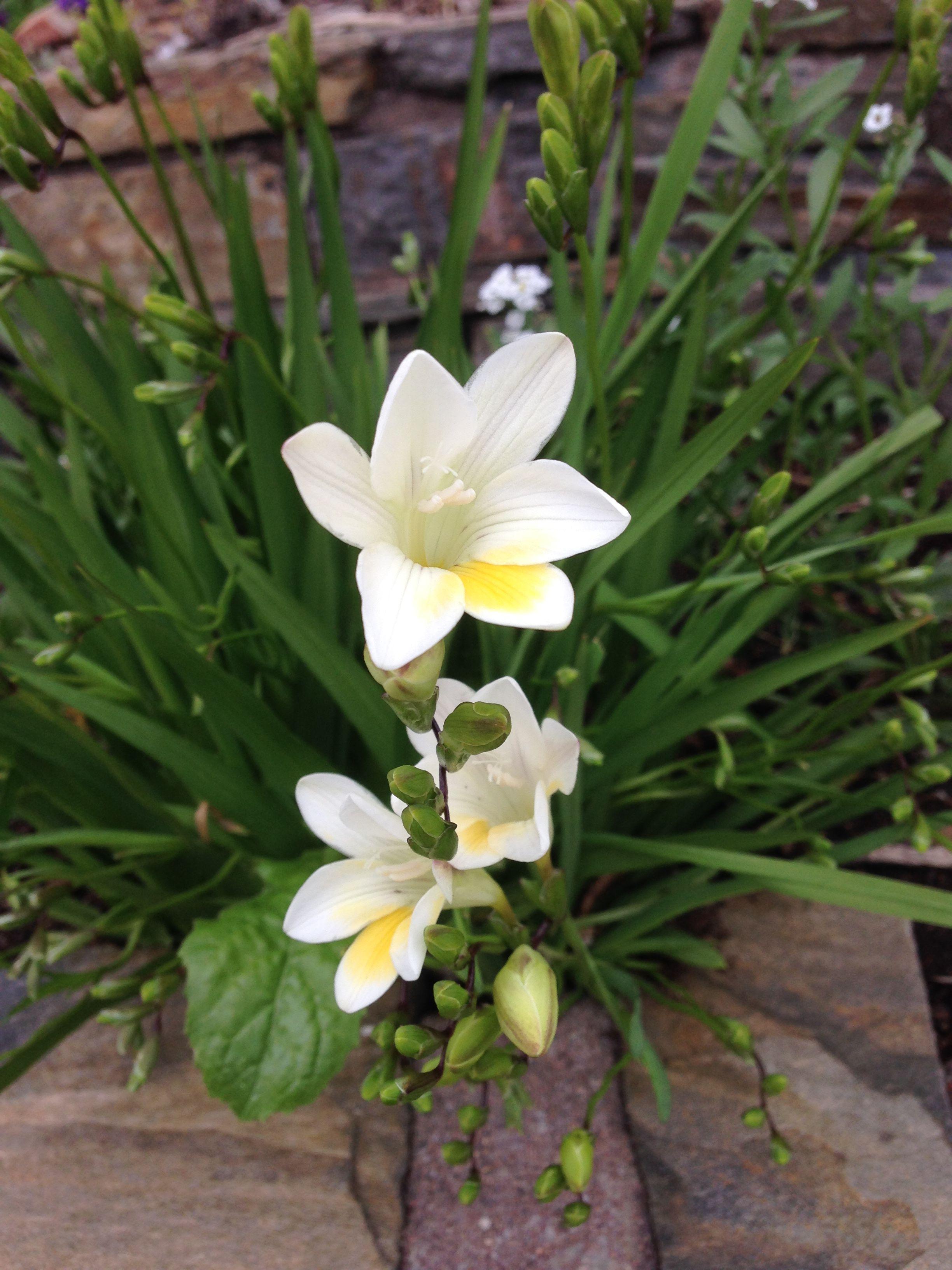 Freesia Bulk Diggers Mix Approx 200 Freesia X Hybrida Fragantes Flowers Love Garden Freesia