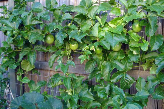 Passionfruit Vine Growing On Fence Passionfruit Vine Trellis Plants Fruit Garden