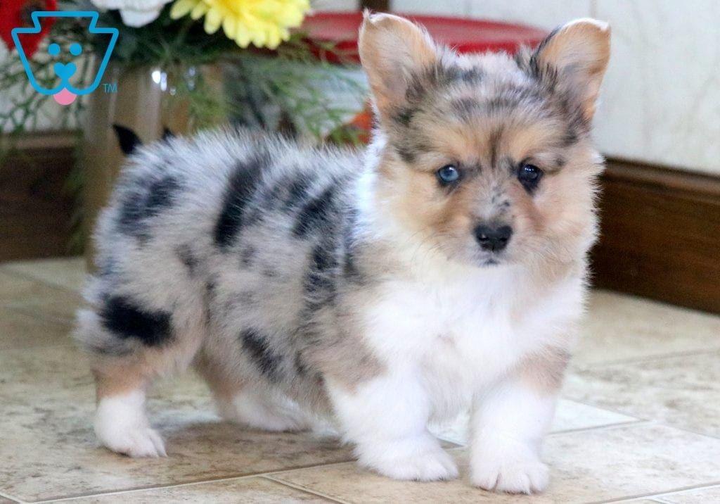 Willow Corgi Puppies For Sale Welsh Corgi Puppies Corgi Puppy