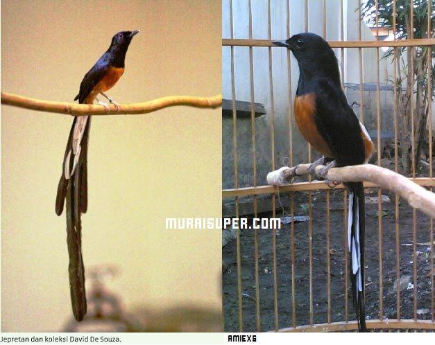 Perbandingan Burung Murai Batu Malaysia Dan Murai Medan Memang Agak Susah Di Bedakan Burung Murai Yang Berasal Dari Malaysia Memang Kota Medan Burung Malaysia