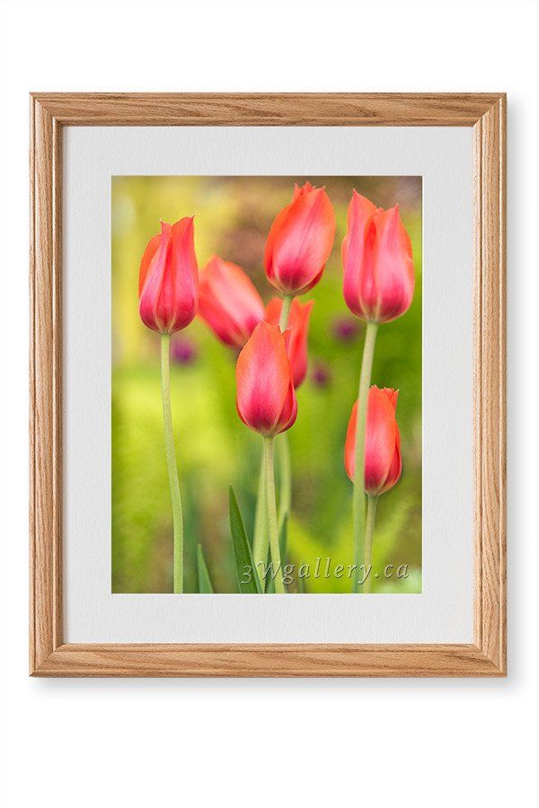 Red Tulips Framed Photo Print Red Tulips Frame Framed Prints