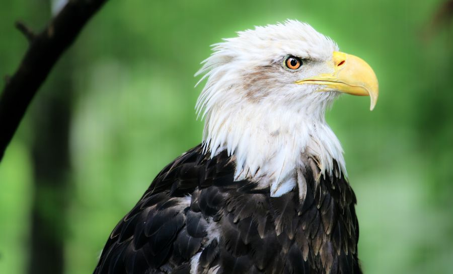 Bald Eagle Informations Pictures