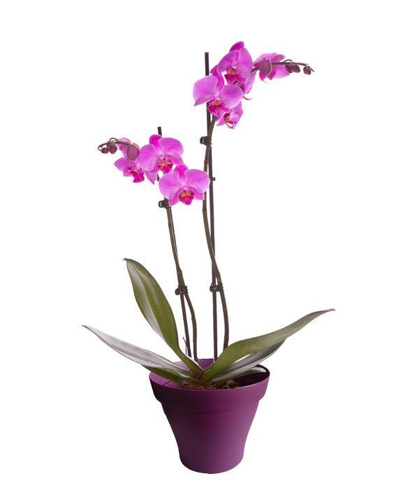 Orchid e phalaenopsis rose 2 branches avec cache pot - Arrosage orchidee d interieur ...