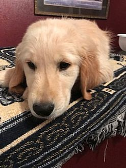 Antwerp Ohio Golden Retriever Meet Henry A For Adoption Https Www Adoptapet Com Pet 19859858 Antwerp Ohio Golden Kitten Adoption Pets Golden Retriever