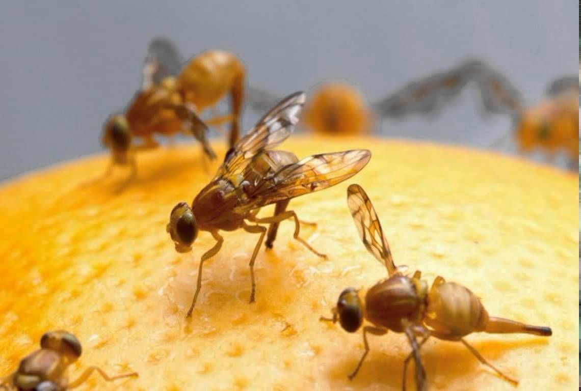 How to get rid of fruit flies naturally housefurnituredecor