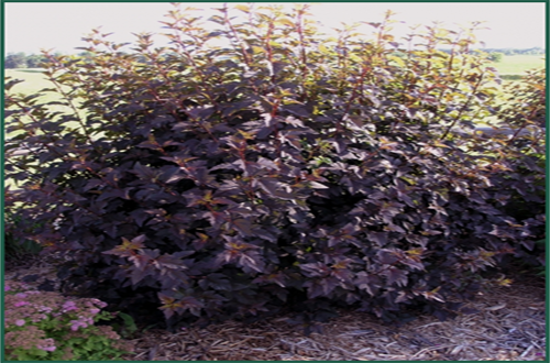 diablo ninebark fast growing shrub