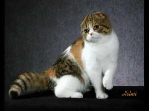 Scottish Fold Cat Scottish Fold Scottish Fold Cute Animals