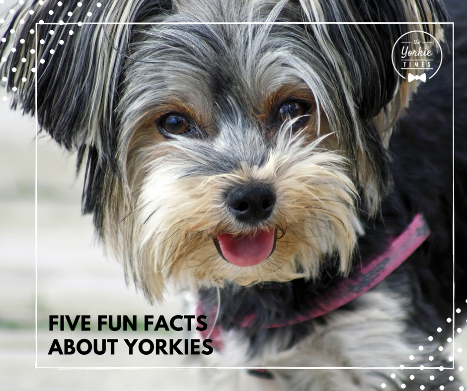 Five Fun Facts About Yorkies Pinterest Yorkies Yorkshire