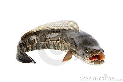 Snakehead Fish Stock Photos Images Pictures 274 Images Snakehead Fish Invasive Species Fish Stock