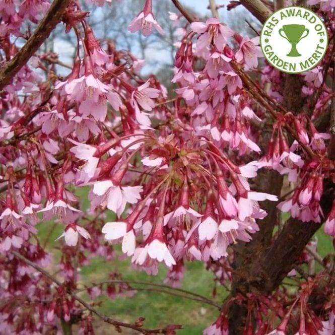 Prunus Okame Tree Flowering Cherry Tree Cherry Tree Varieties Ornamental Cherry