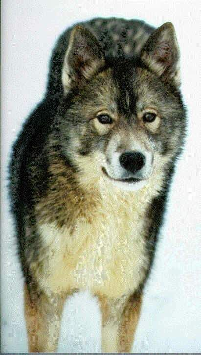 Agouti Siberian Husky This Is Exactly The Coloring We Are Hoping