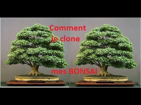 10 Comment Je Bouture Mes Bonsai Boutures Bonsai Plante