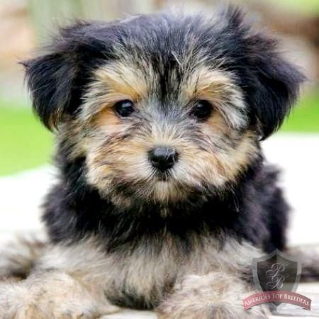 Morkie Oh Man Might Just Have To Have One Of These Little Guys