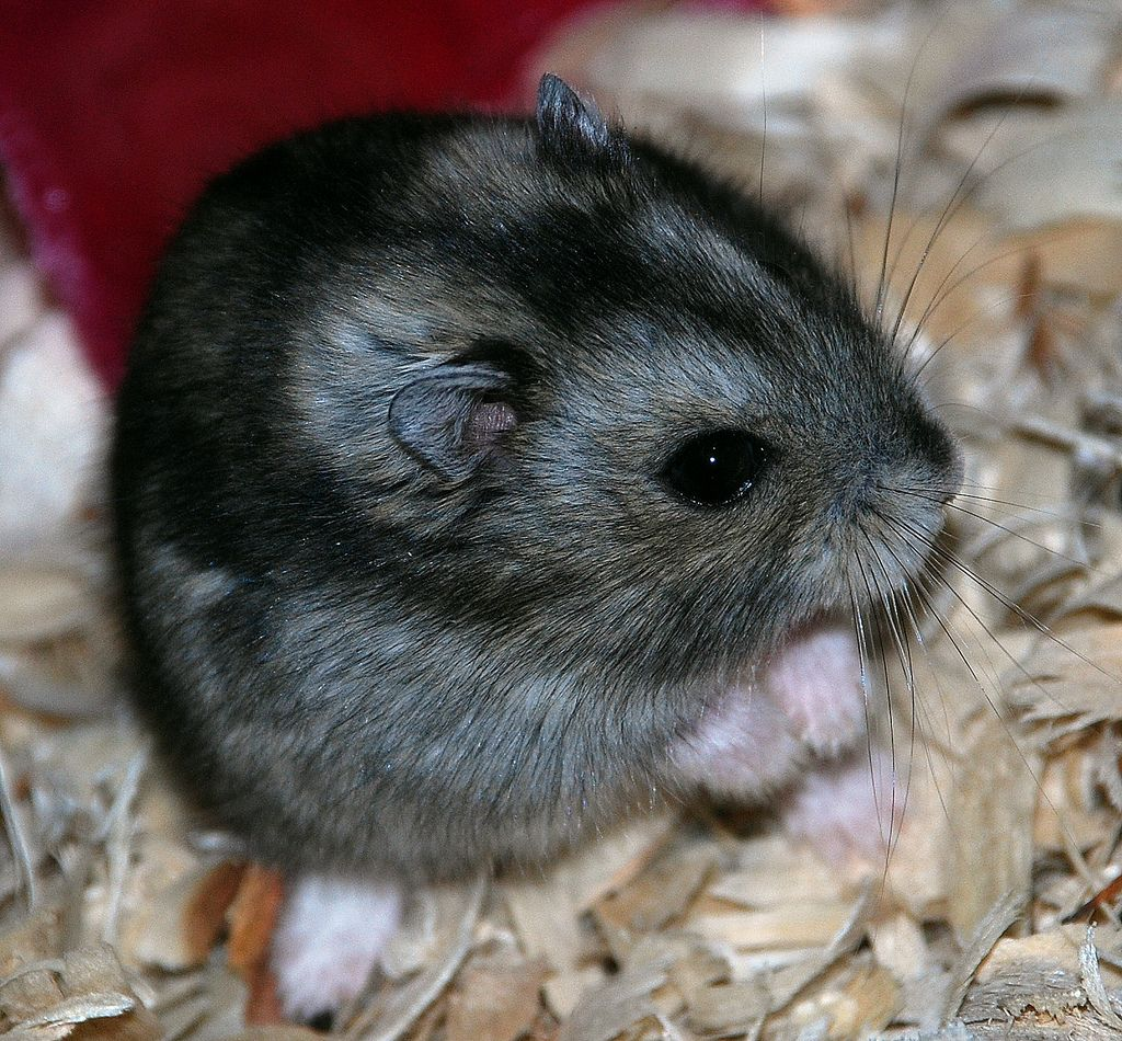 Quick Guide to the Five Species of Domestic Hamster